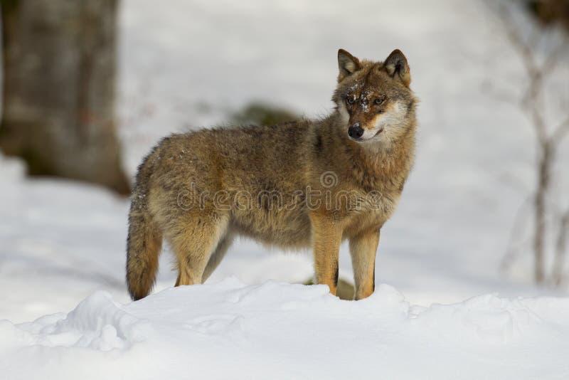 Lobo gris en un puesto de observación foto de archivo