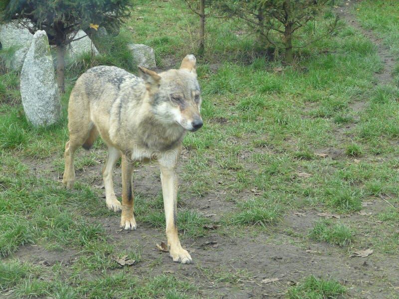 Lobo gris hermoso [lupus de Canis] fotografía de archivo
