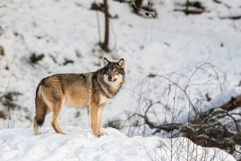 Lobo gris, lupus de Canis, situación y mirada hacia cameraa, en un bosque nevoso del invierno fotos de archivo