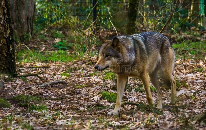 Lobo gris que camina en un bosque, un perro salvaje de Eurasia y una América imagen de archivo