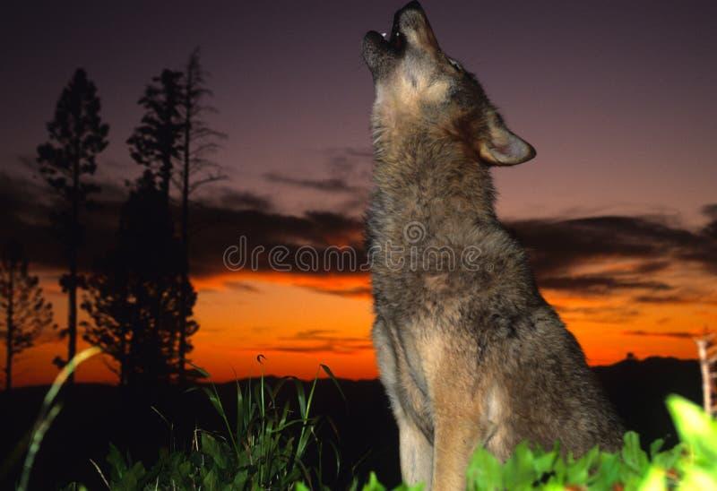 Lobo gris que grita en la puesta del sol foto de archivo