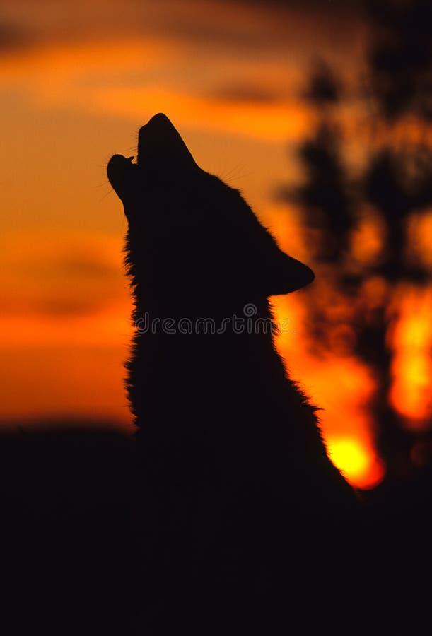 Lobo gris que grita en la salida del sol foto de archivo