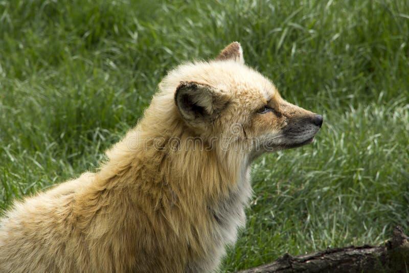 Lobo joven imagen de archivo