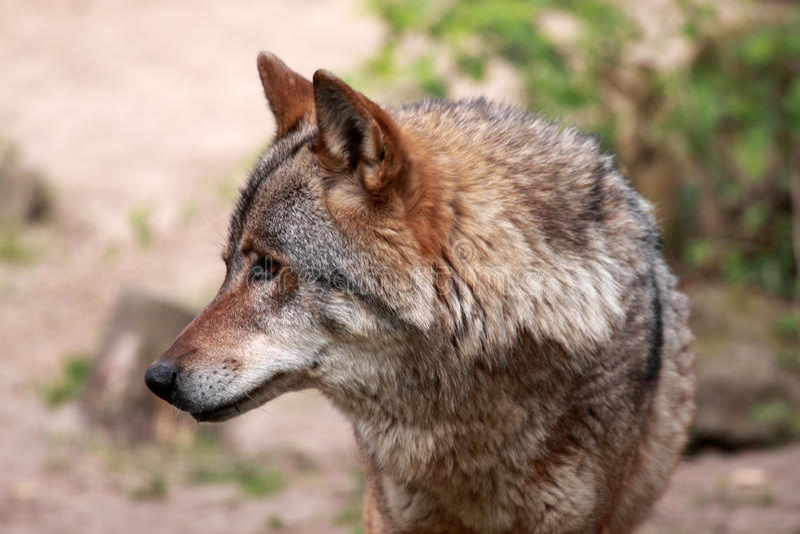 Lobo (lupus de canis) fotografía de archivo