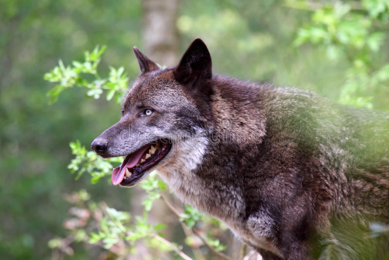 Lobo (lupus de canis) imagenes de archivo