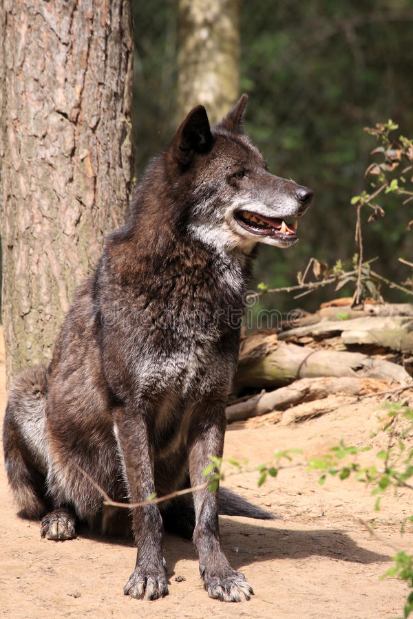 Lobo (lupus de canis) fotografía de archivo libre de regalías