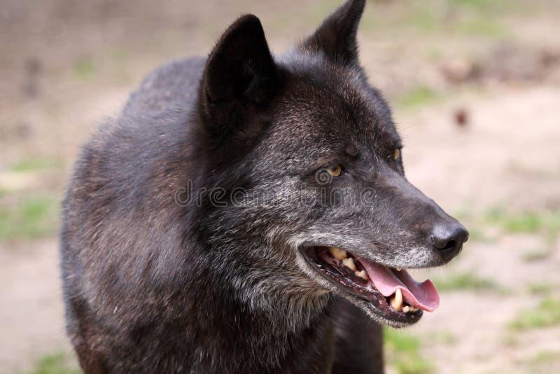 Lobo (lupus de canis) imagen de archivo libre de regalías