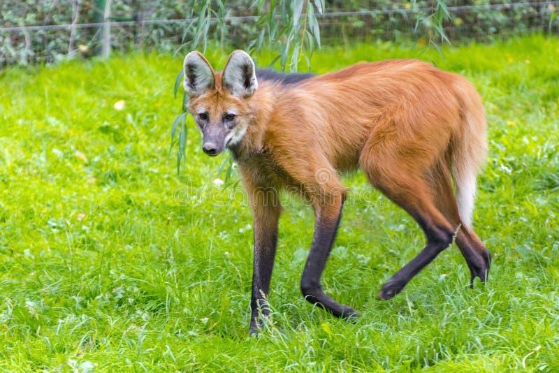Lobo Maned (brachyurus de Chrysocyon) fotografia de stock