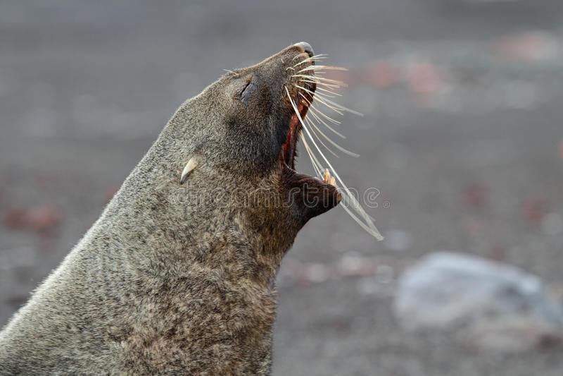 Lobo-marinho antárctico que descasca, Continente antárctico foto de stock