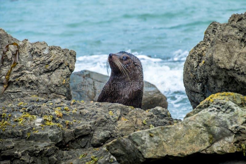 Lobo-marinho de Nova Zelândia na península de Otago fotos de stock