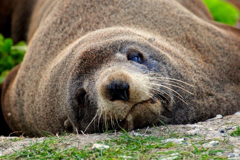 Lobo-marinho preguiçoso na praia, Nova Zelândia imagens de stock royalty free