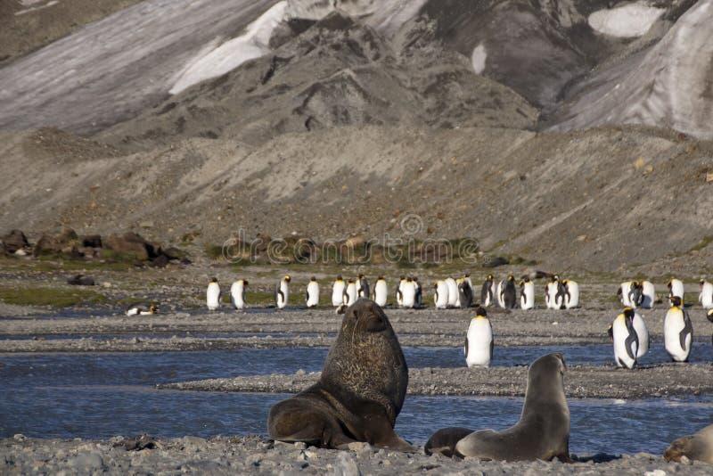 Lobo-marinhos antárticos que examinam o território com os pinguins de rei no fundo foto de stock
