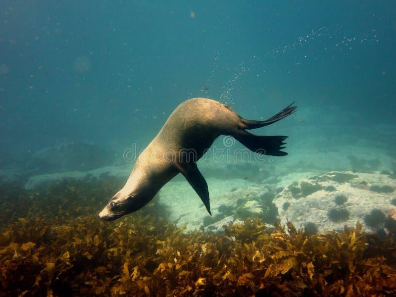 Lobo marino acrobático fotos de archivo