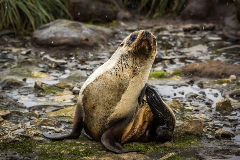 Lobo marino antártico que se rasguña en nieve imágenes de archivo libres de regalías