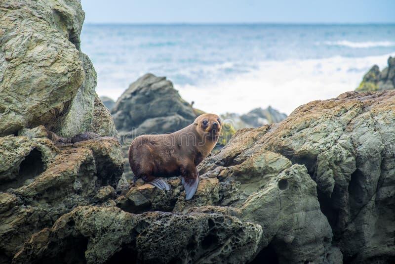Lobo marino de Nueva Zelanda en la península de Otago, Dunedin, isla del sur fotos de archivo