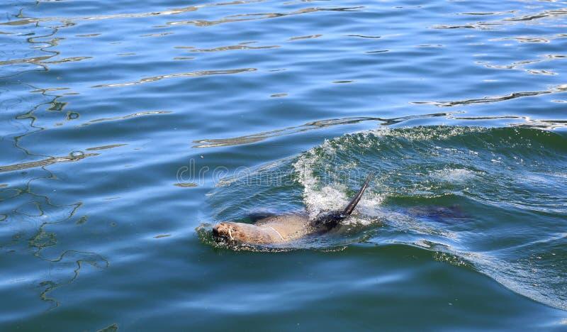 Lobo marino de Suráfrica fotos de archivo libres de regalías