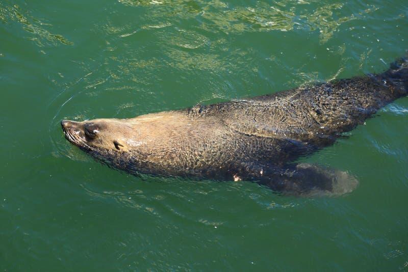 Lobo marino de Suráfrica fotos de archivo