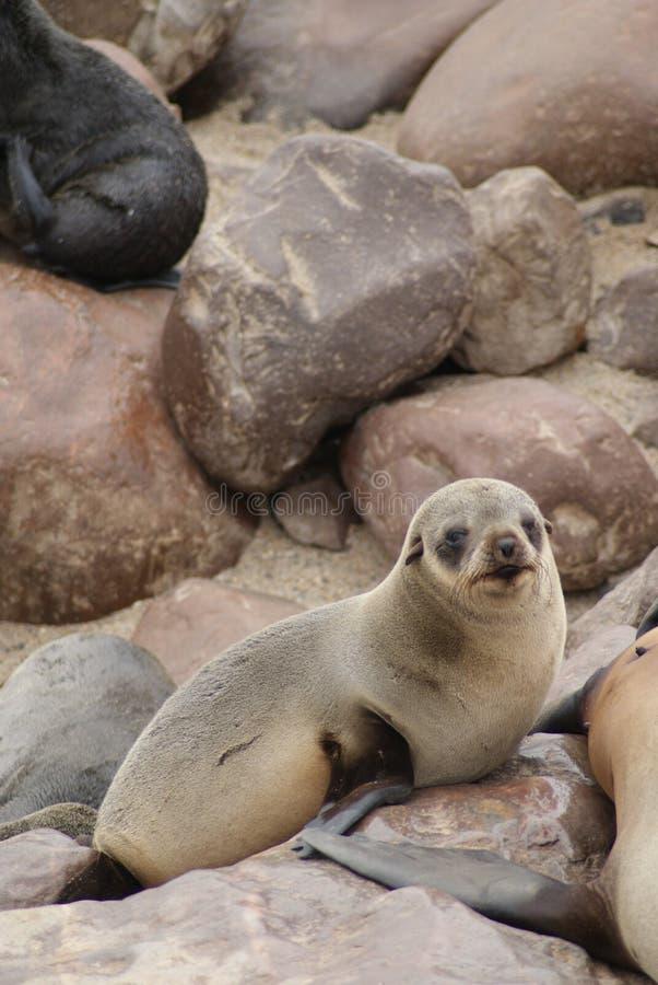 Lobo marino del cabo en la cruz del cabo en Namibia imagen de archivo libre de regalías