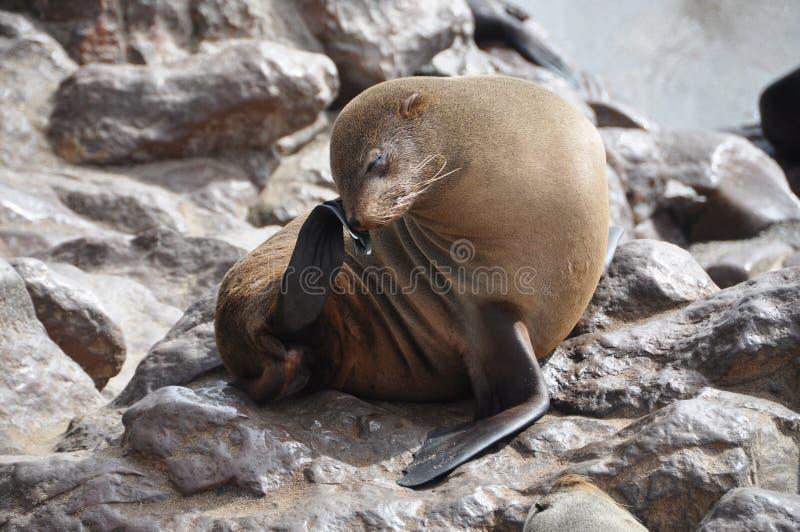 Lobo marino del cabo en la cruz del cabo, Namibia imagen de archivo libre de regalías