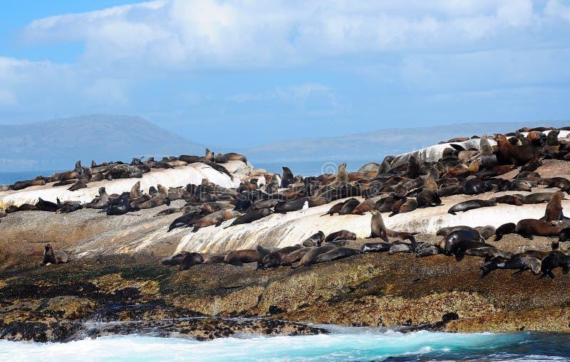 Lobo marino del cabo en la isla del sello fotografía de archivo libre de regalías