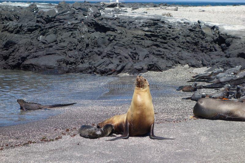 Lobo marino en el océano foto de archivo libre de regalías