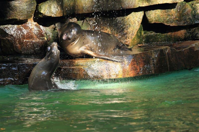 Lobo marino suramericano fotografía de archivo libre de regalías