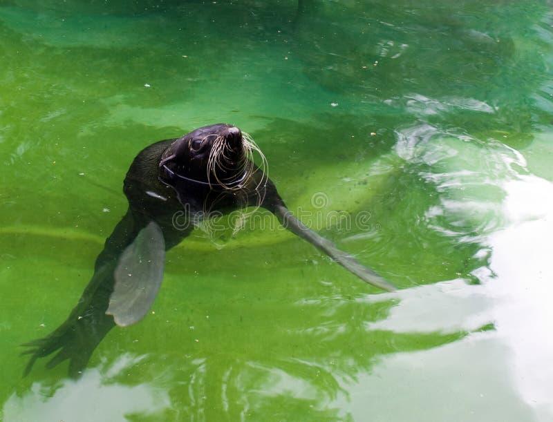 Lobo marino (ursinus del Callorhinus) fotografía de archivo libre de regalías