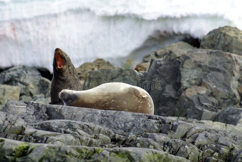 Lobo marino y sello de Weddell en rocas en la Antártida imagen de archivo libre de regalías