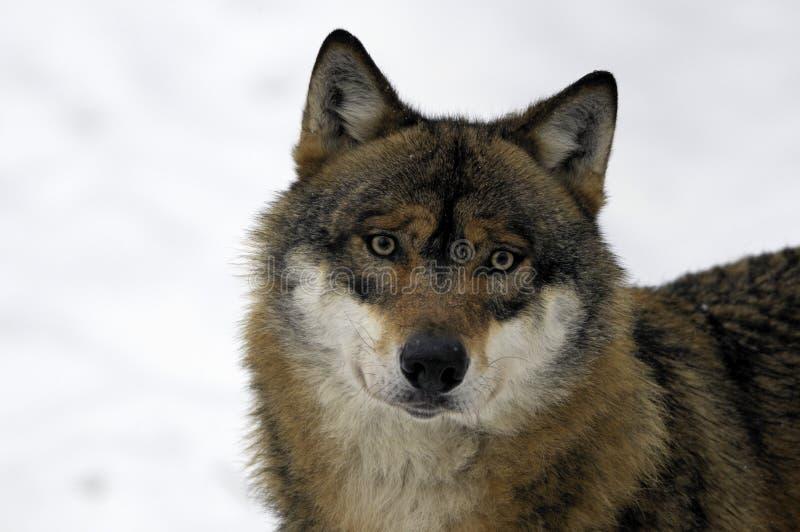 Lobo marrom e branco novo fotos de stock