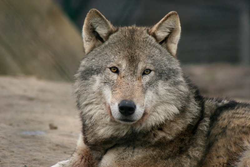 Lobo masculino gris foto de archivo
