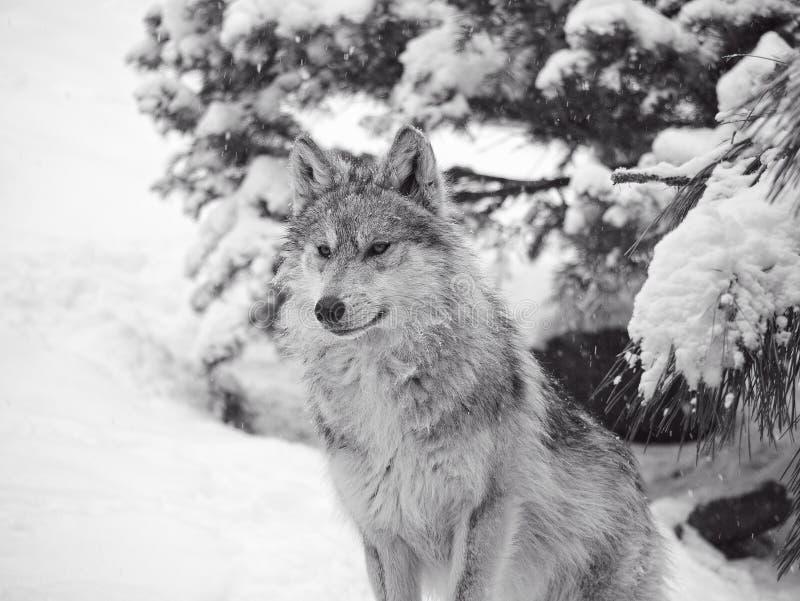 Lobo mexicano en la nieve imagen de archivo libre de regalías