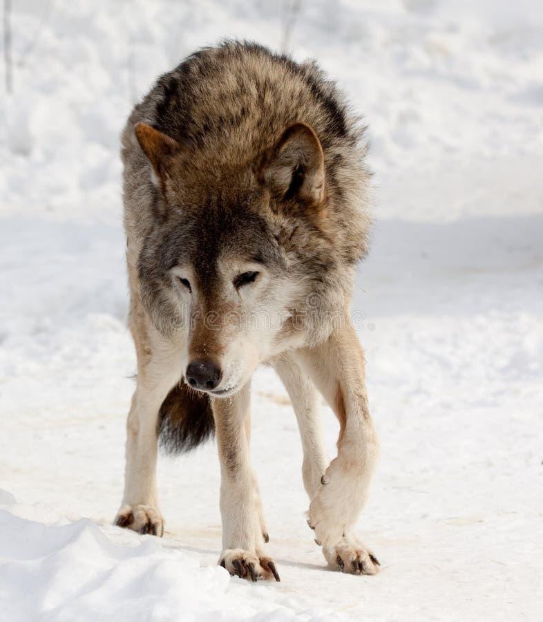 Lobo na neve imagens de stock royalty free