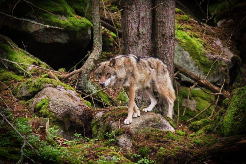 Lobo na pedra foto de stock