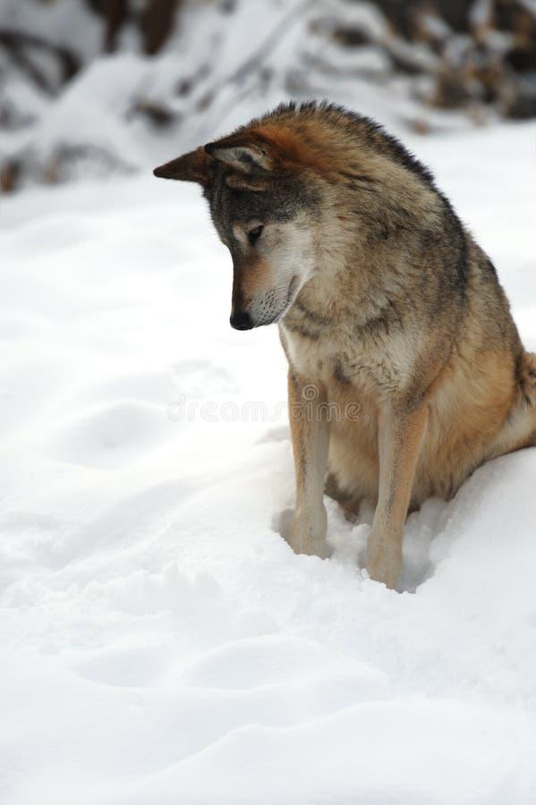 Lobo no inverno imagens de stock
