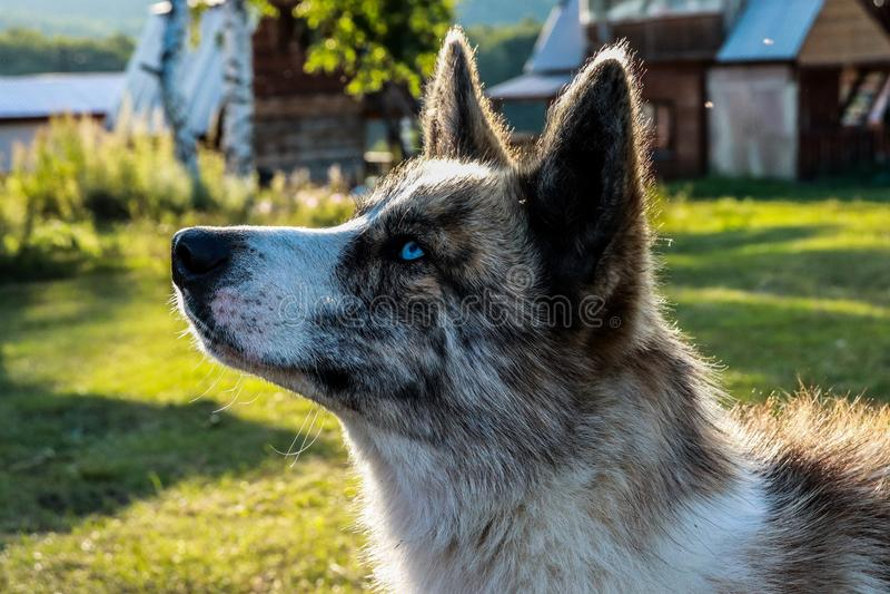 lobo No-salvaje entre nosotros imagenes de archivo