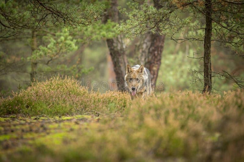 Lobo novo imagens de stock