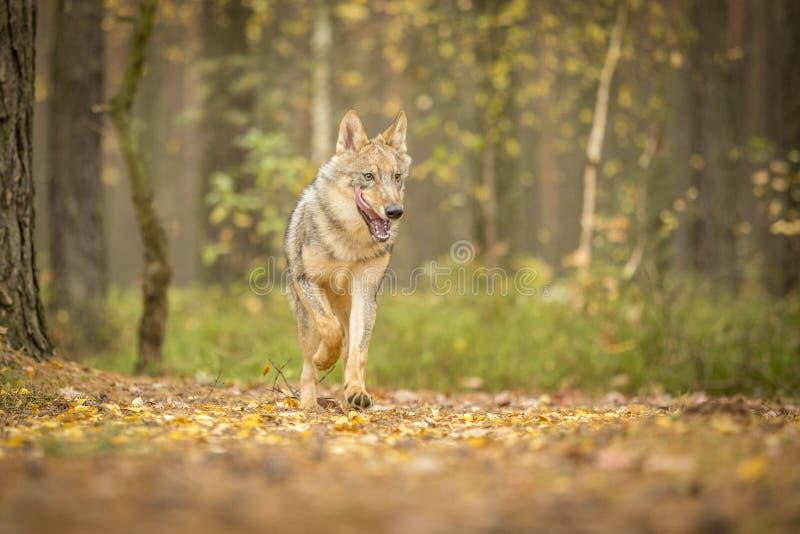 Lobo novo imagem de stock royalty free