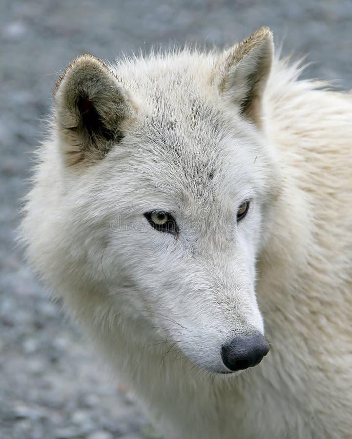 Lobo polar 4 fotos de archivo libres de regalías