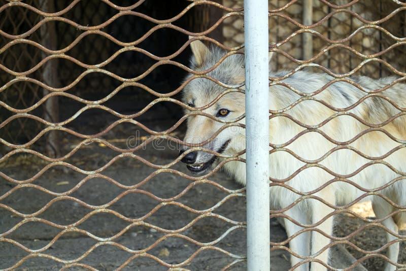 Lobo polar atrás do tundrarum do lúpus de Canis das barras fotos de stock