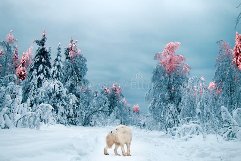 Lobo polar en el taiga foto de archivo libre de regalías