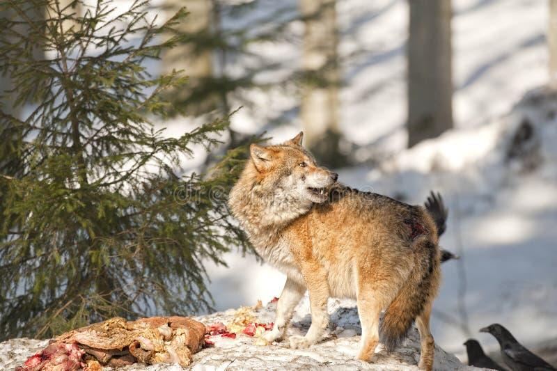 Lobo que come na neve fotografia de stock royalty free