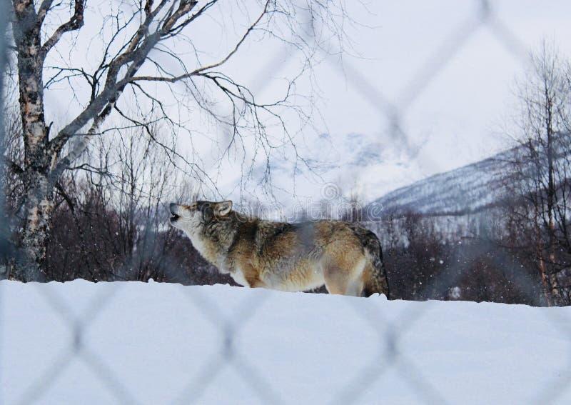 Lobo que grita en la nieve imagen de archivo