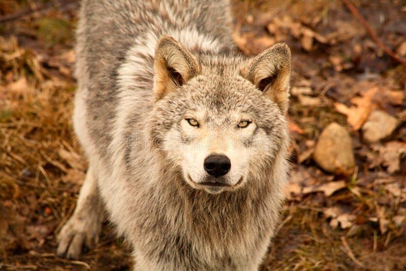 Lobo que mira para arriba fotografía de archivo