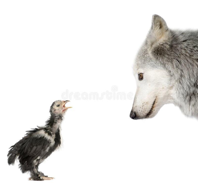 Lobo que olha um pintainho de encontro ao fundo branco foto de stock royalty free