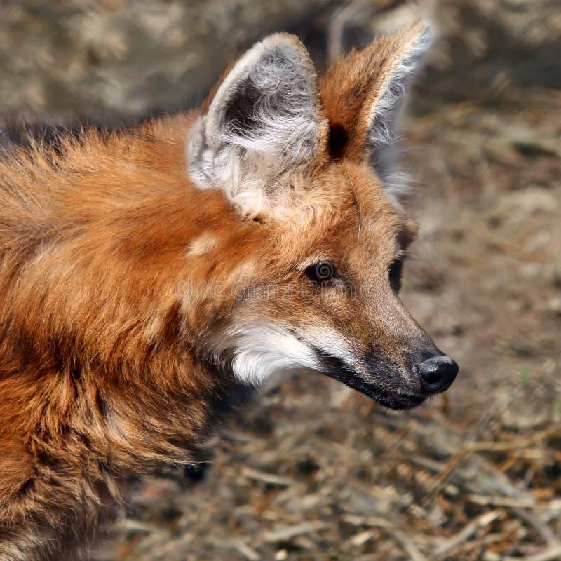 Lobo rojo imagen de archivo libre de regalías