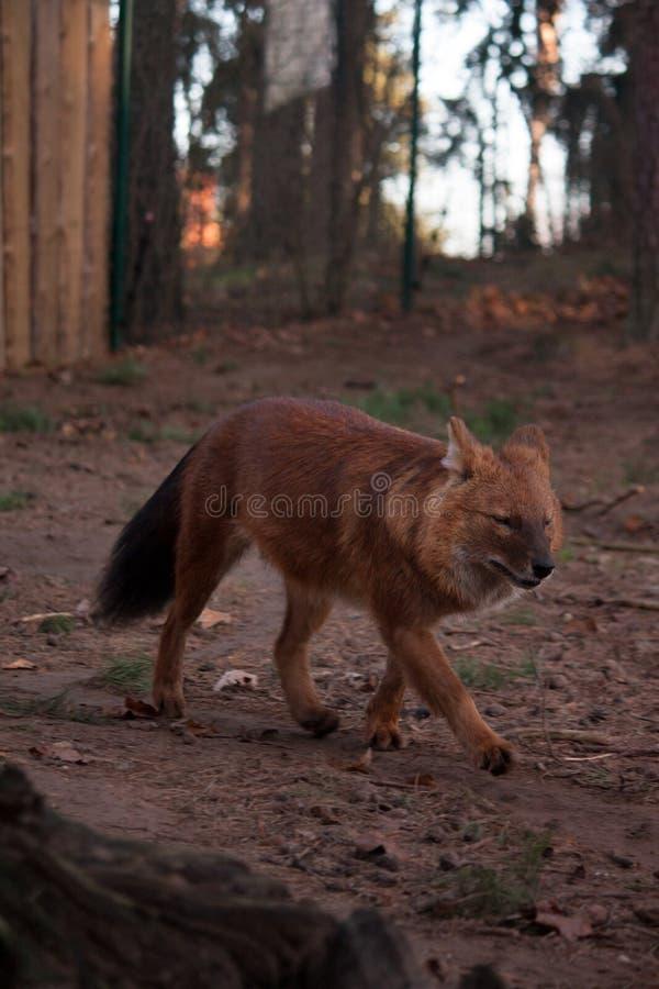 Lobo rojo salvaje que corre en el bosque imagen de archivo