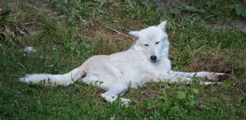 Lobo ?rtico o White Wolf polar, fotos de archivo
