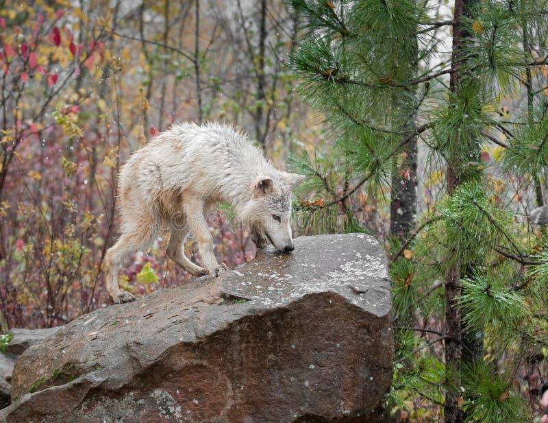 Lobo rubio (lupus de Canis) en roca foto de archivo libre de regalías