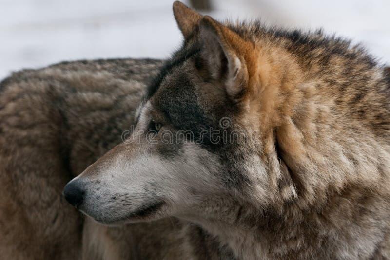 Lobo salvaje fotografía de archivo