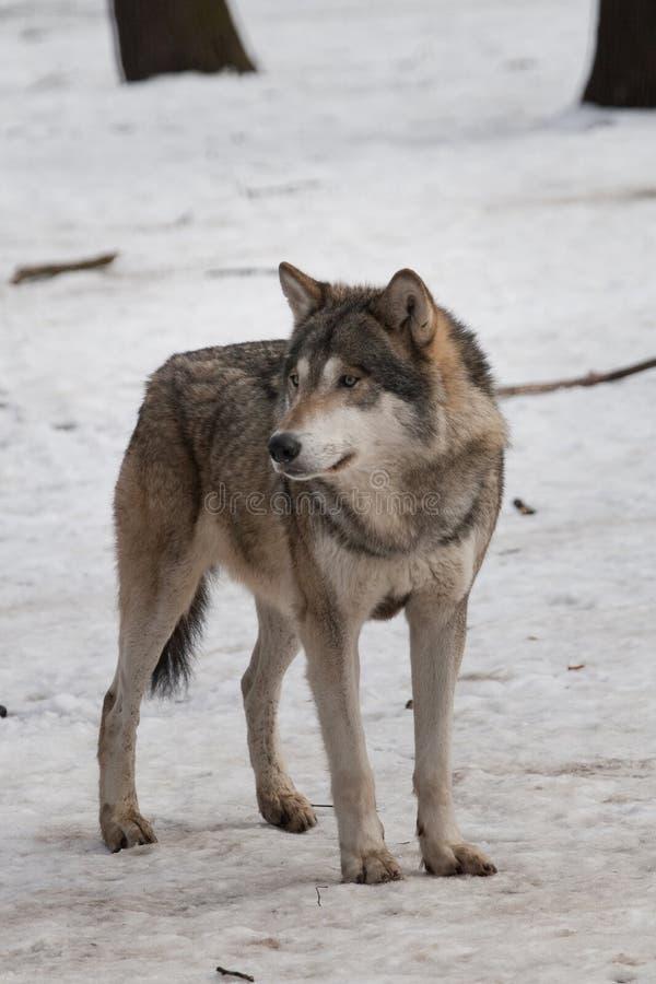 Lobo salvaje fotos de archivo